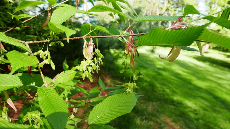 Hornbeam maple foliage, stipules, flowers, and fruits