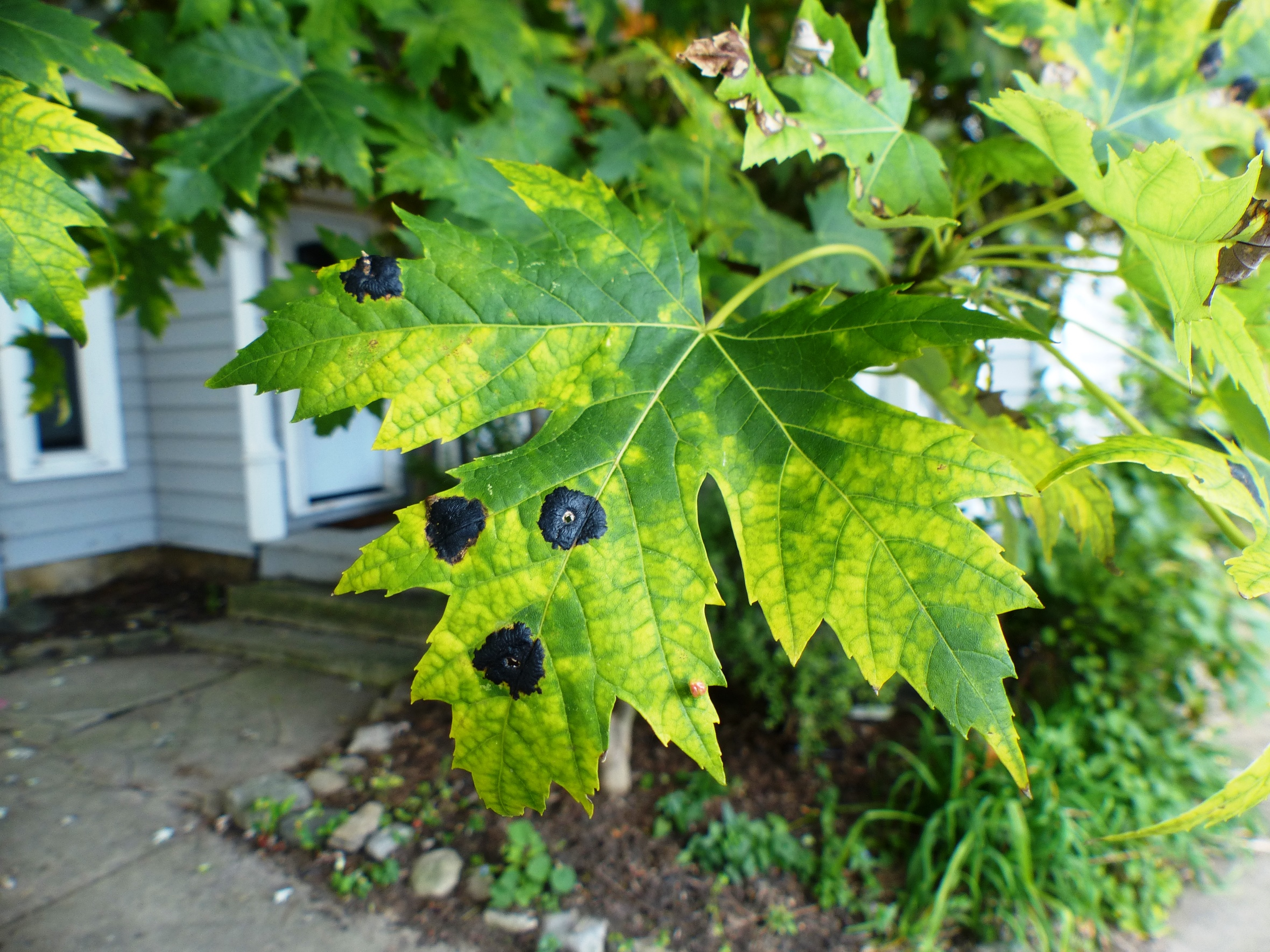 Rhytisma acerinum  on Freeman maple