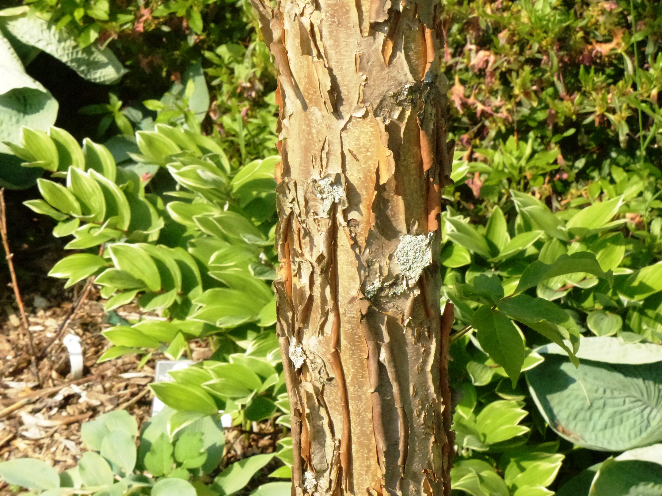 Tree of the Week: Three-Flowered Maple   BYGL