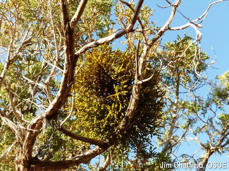 dwarf mistletoe