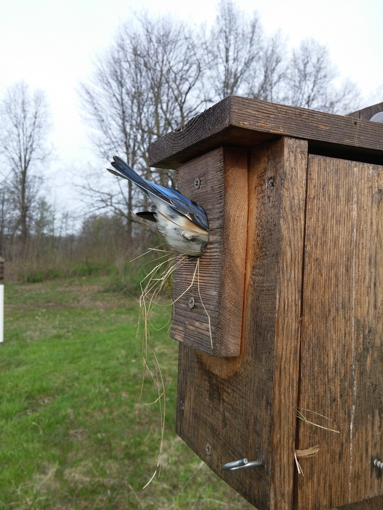 bluebird building nest