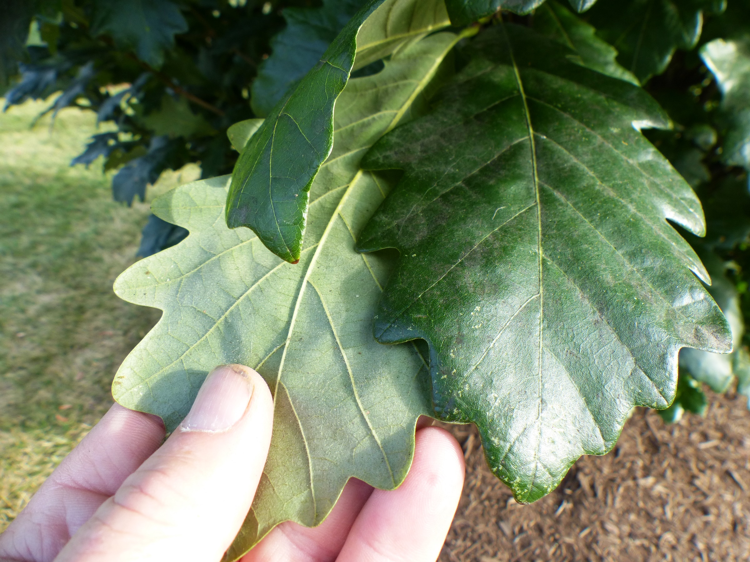 two-toned oak leaves