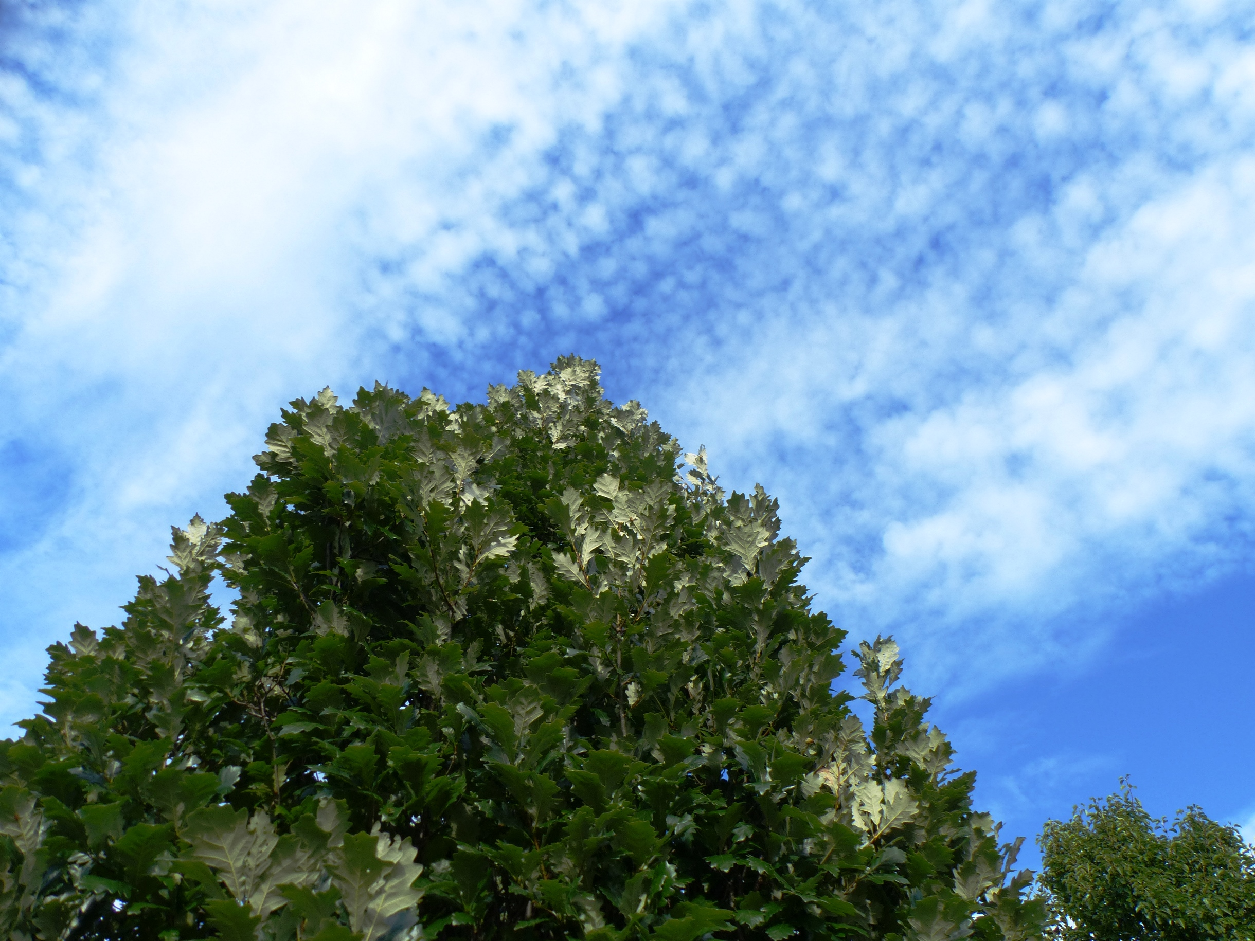 blue sky and two-toned oak leaves