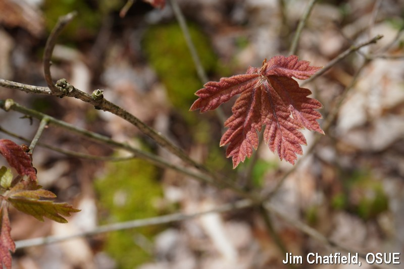 oak leaves emerging