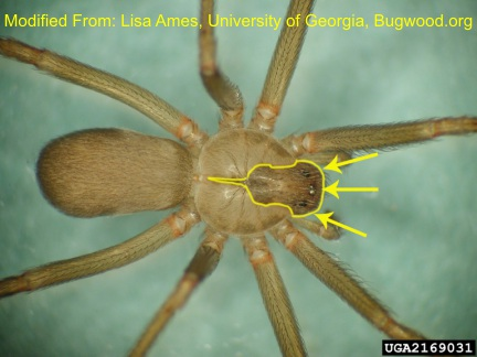 Brown Recluse with shapes outlined