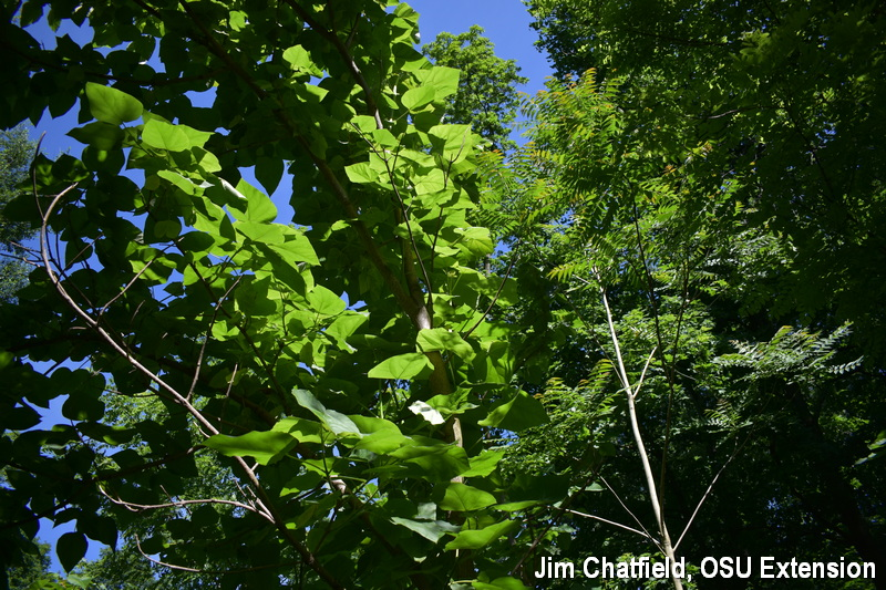 Paulownia and ailanthus invasives