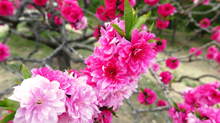 Soft pink and coral pink flowering peach blossoms