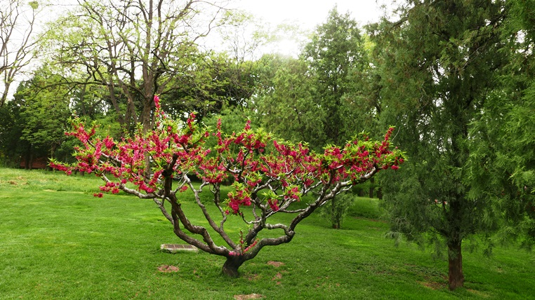 A red flowering peach