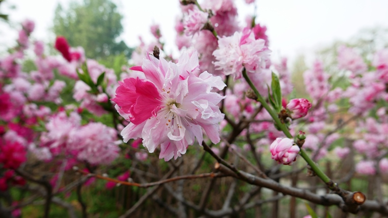 Multiple hues on one flowering peach tree