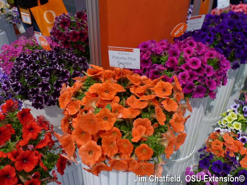Petunias in all their colorful glory
