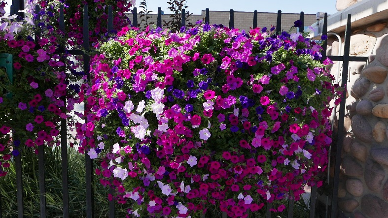 petunia plants are colorful in Vernal UT