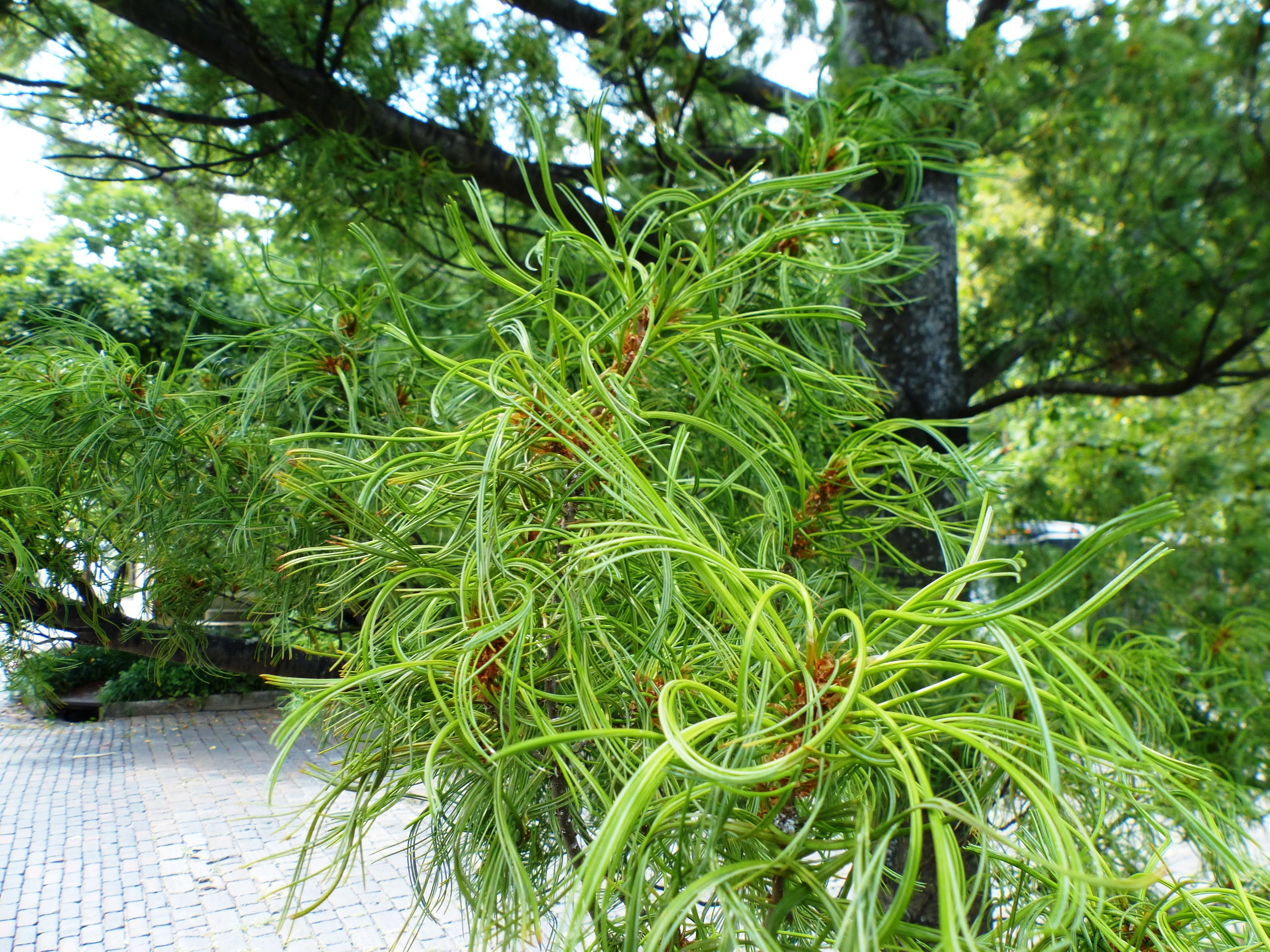 contorted white pine foliage