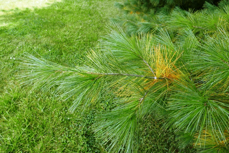 seasonal needle yellowing on white pine