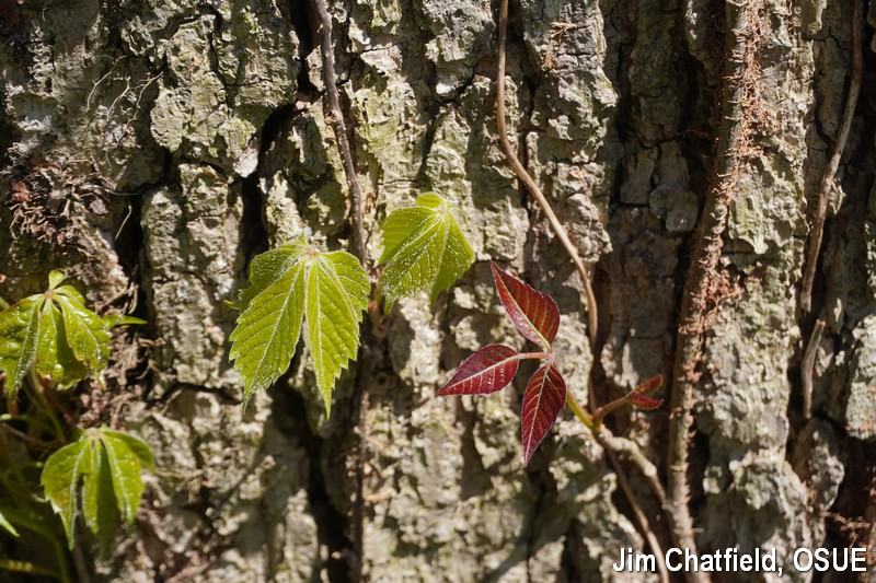 Virginia creeper and poison ivy