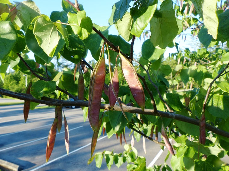 redbud leaves and fruits