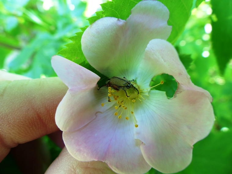 Rose flower with rose chafer insect