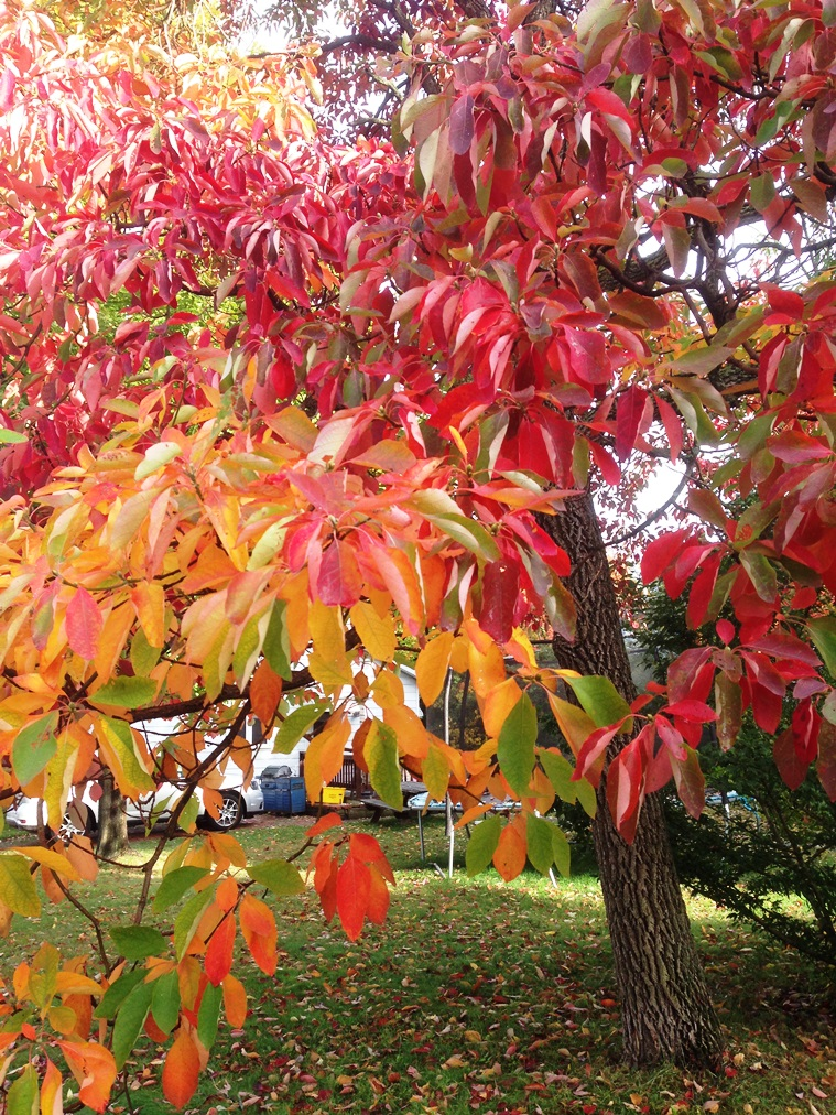 Range of fall colors on sassafras