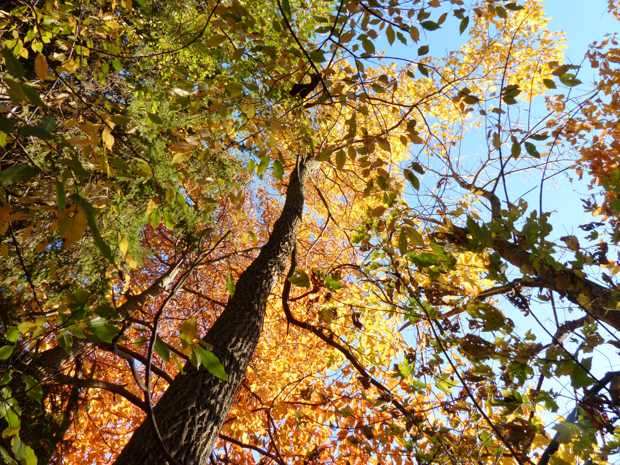 sassafras trunk and fall foliage color