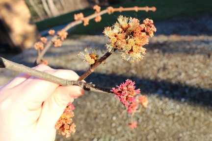 multicolored silver maple buds