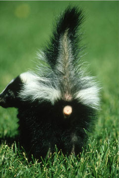 Skunks can spray a direct stream or a mist, and BOTH are very accurate!