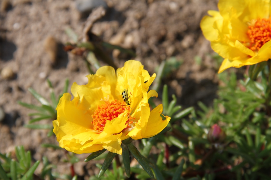 Spotted cucumber beetle feeding on portulaca