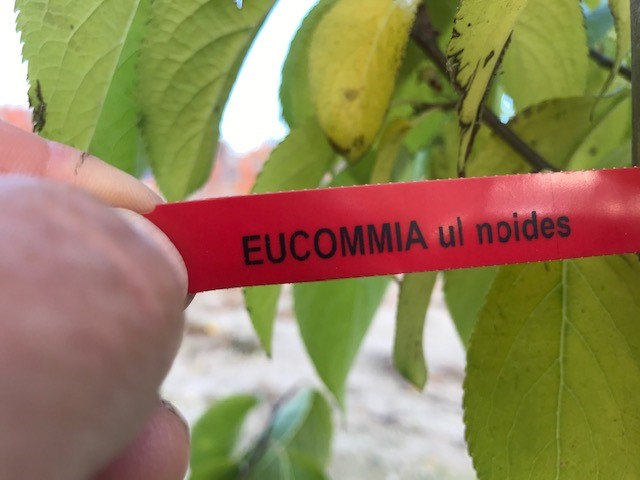 eucomia label