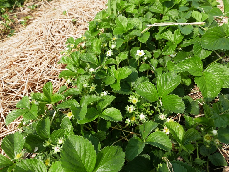 strawberry plants and flowers