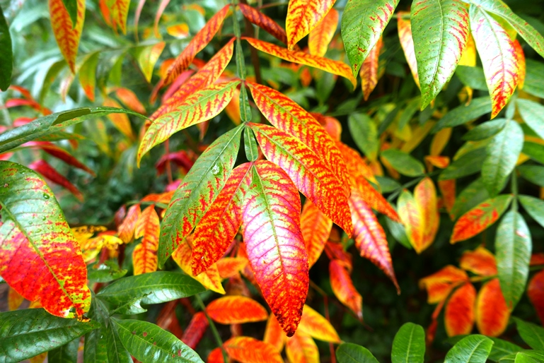 Fall colors of shining sumac