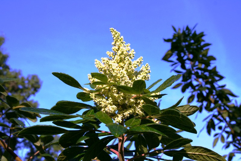 Flowers of shining sumac