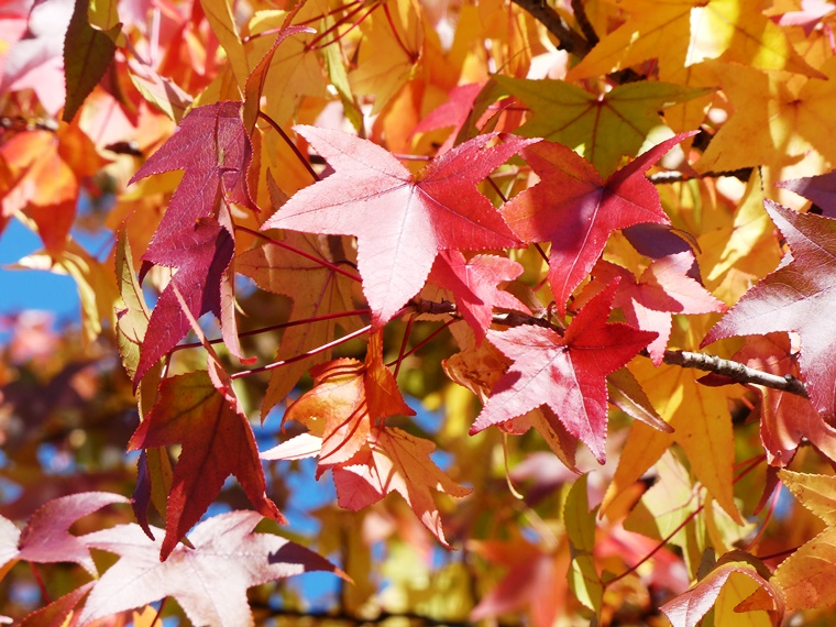 fall foliage color of sweetgums