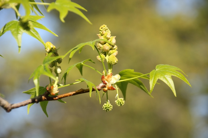 monoecious flowers of sweetgum
