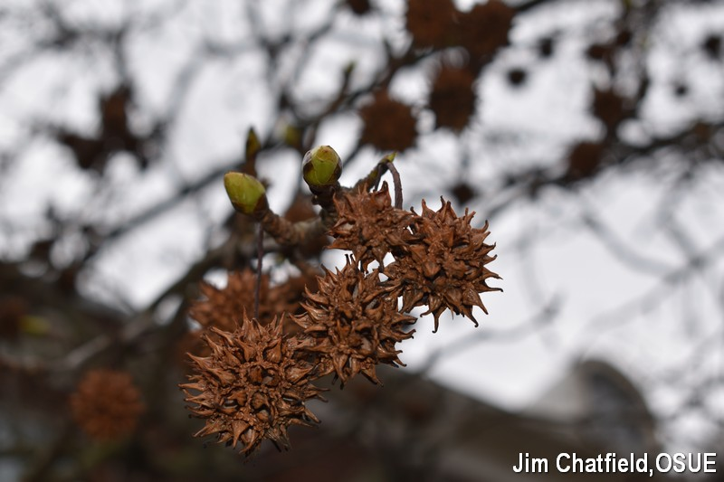 Sweetgum fruits