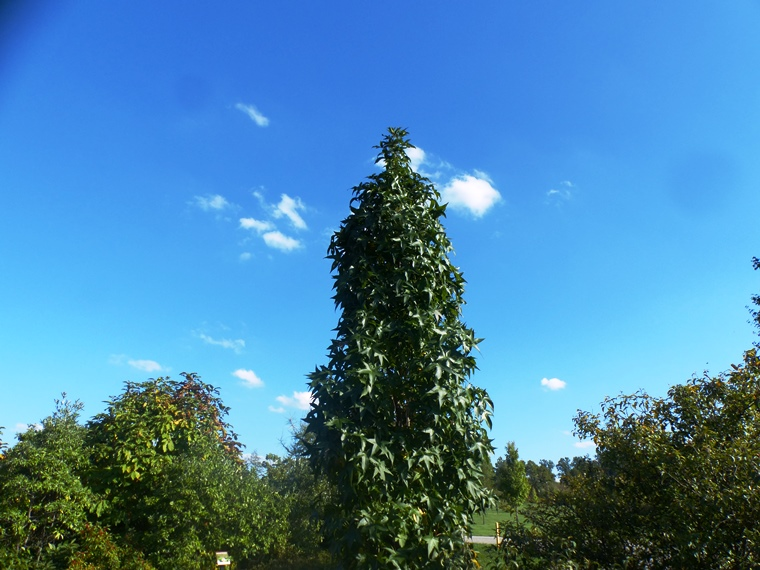 upright sweetgum