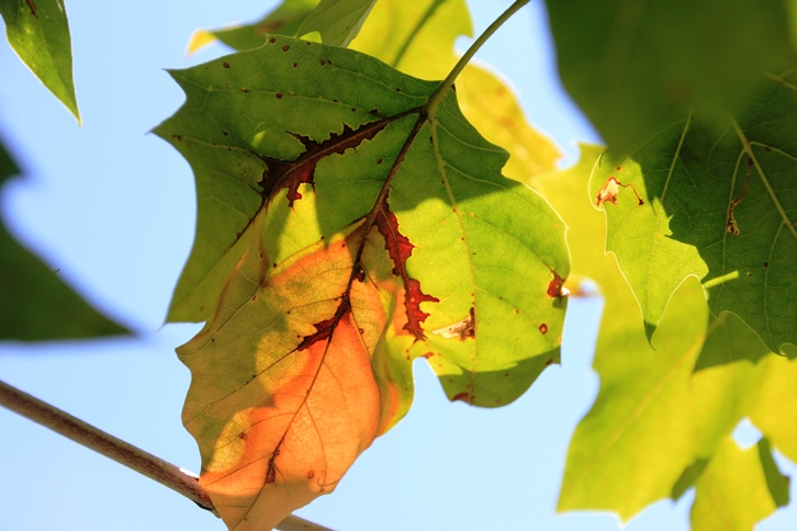 Sycamore anthraconse leaf symptoms