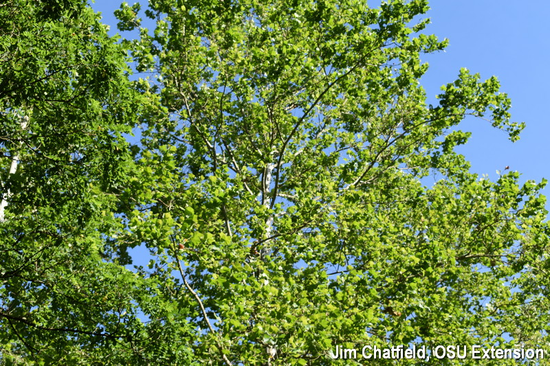 Recovery from sycamore anthracnose by mid-July