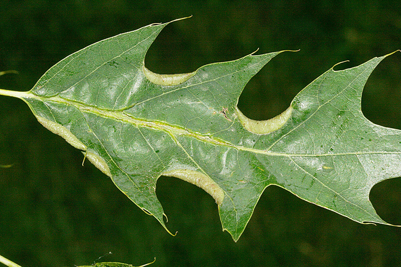 Oak leaf-curling midge damage.
