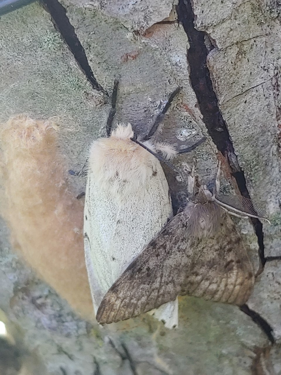 Egg Mass, Female Gypsy Moth (White) and Male Gypsy Moth (Brown)