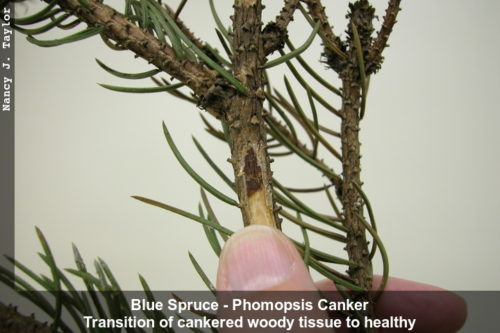 Blue spruce branch with bark removed to show sharp transition of cankered to healthy tissue