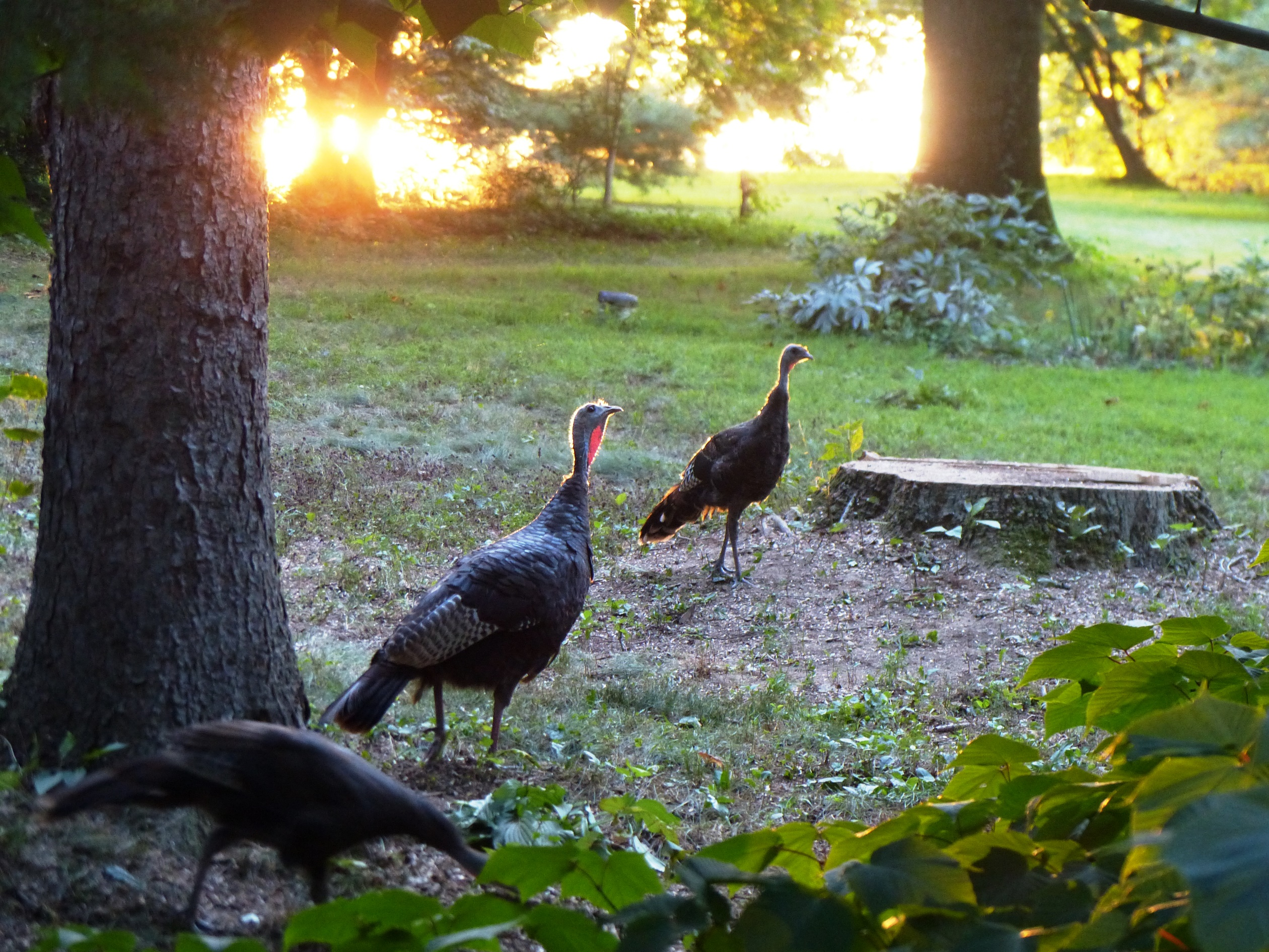turkeys look for ash trees