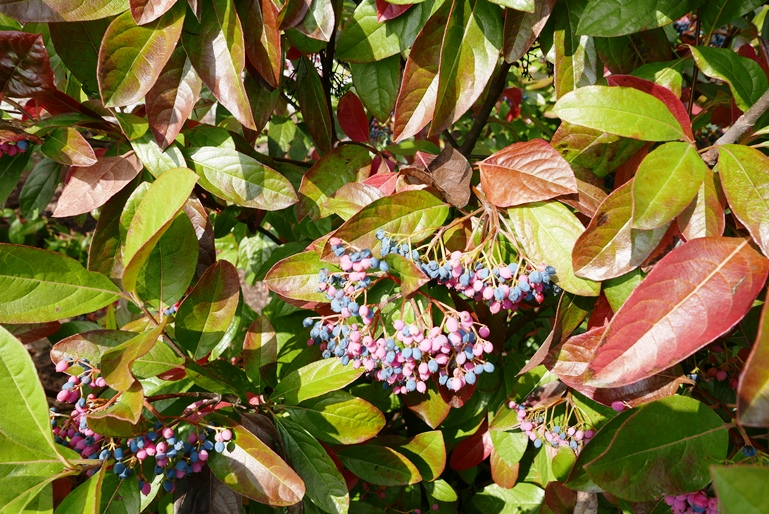 viburnum nudum fruits and fall foliage