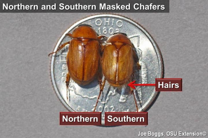 Northern and Southern Masked Chafers
