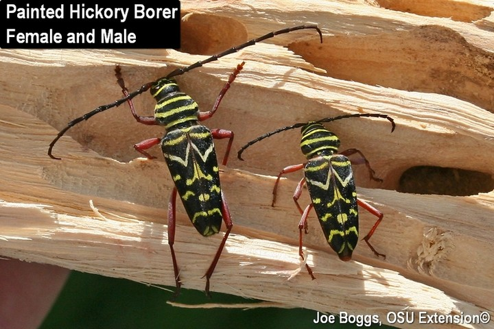 Painted Hickory Borer