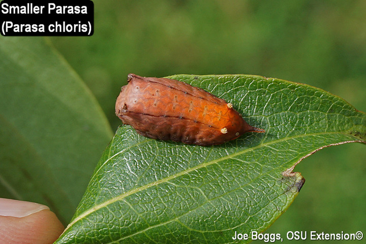 Smaller Parasa Slug Caterpillar