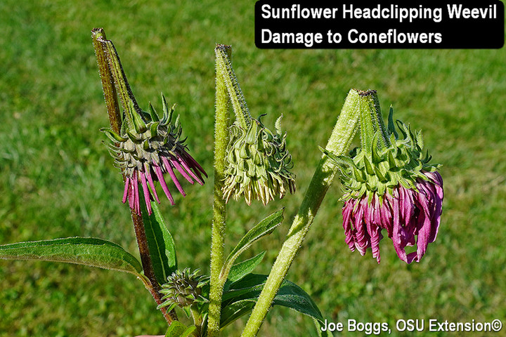 Dangling coneflower flower heads
