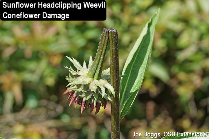 Coneflower Headclipping Weevil