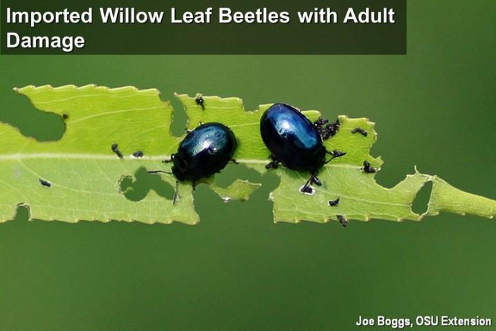 Imported Willow Leaf Beetles and Adult Damage