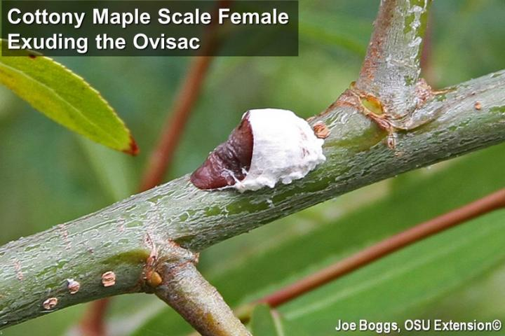 Cottony maple scale