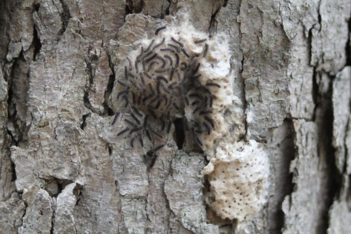 Gypsy Moth Caterpillars Hatching in Spring