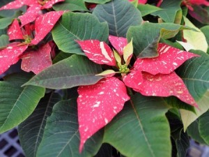 Poinsettia, Photo Credit: Ken Chamberlain