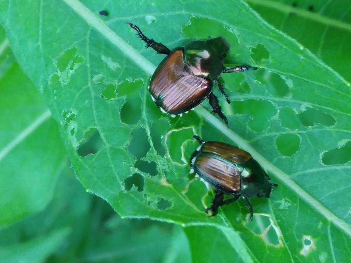 Japanese Beetle Feeding on Evening Primrose